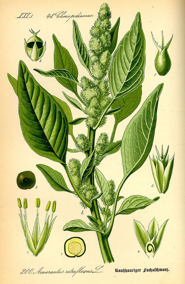 Amaranth-Thome-Flora
