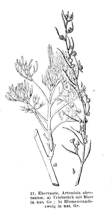 Eberraute-alt