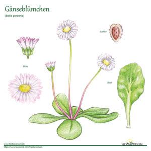 Gänseblümchen Grafik Pflanze