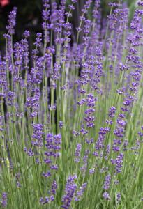 Lavendel, Foto: Sabrina Kirsten