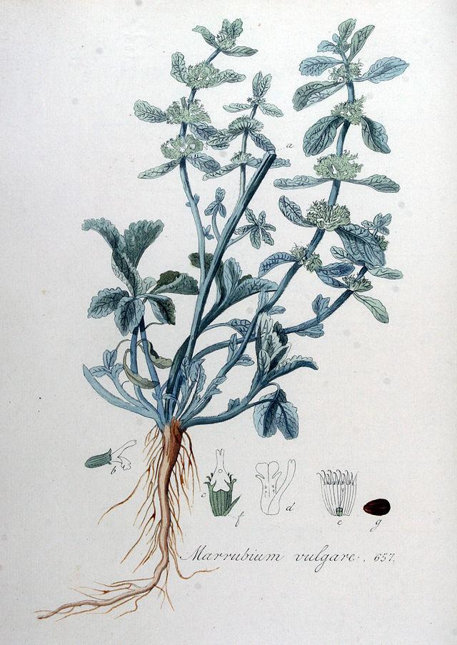 Gemeiner Andorn, Abb.