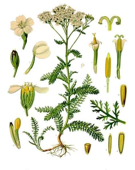 Schafgarbe; Abb. Köhlers Medizinalpflanzen