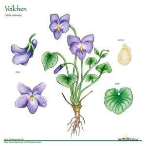 Veilchen Kräuter-Profil Grafik