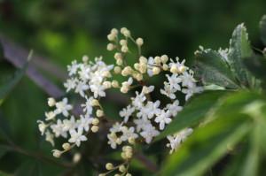 Holunderbüsche als Sichtschutz bringen mehrfachen Nutzen für Tiere und Mensch: Für die Tiere bieten sich die Beeren als Nahrung an, während der Mensch von den essbaren Blüten ebenso profitiert wie von Zubereitungen aus Holunderbeeren. Foto: Sabrina Kirsten