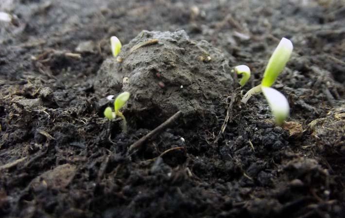 Seedball beginnt zu keimen