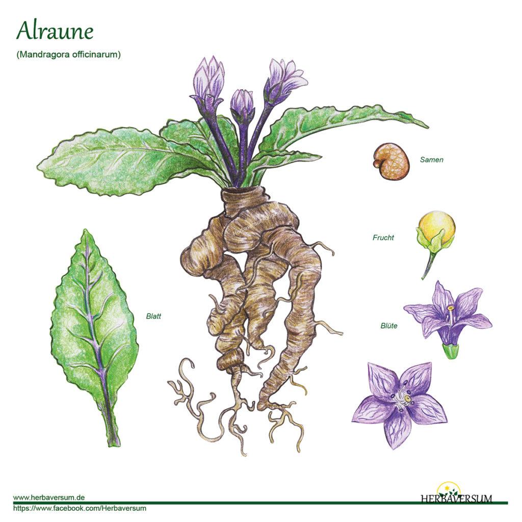 Alraune Grafik Kräuter-Profil Detail-Zeichnung
