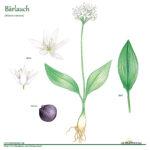 Bärlauch Kräuterprofil Detail-Zeichnung