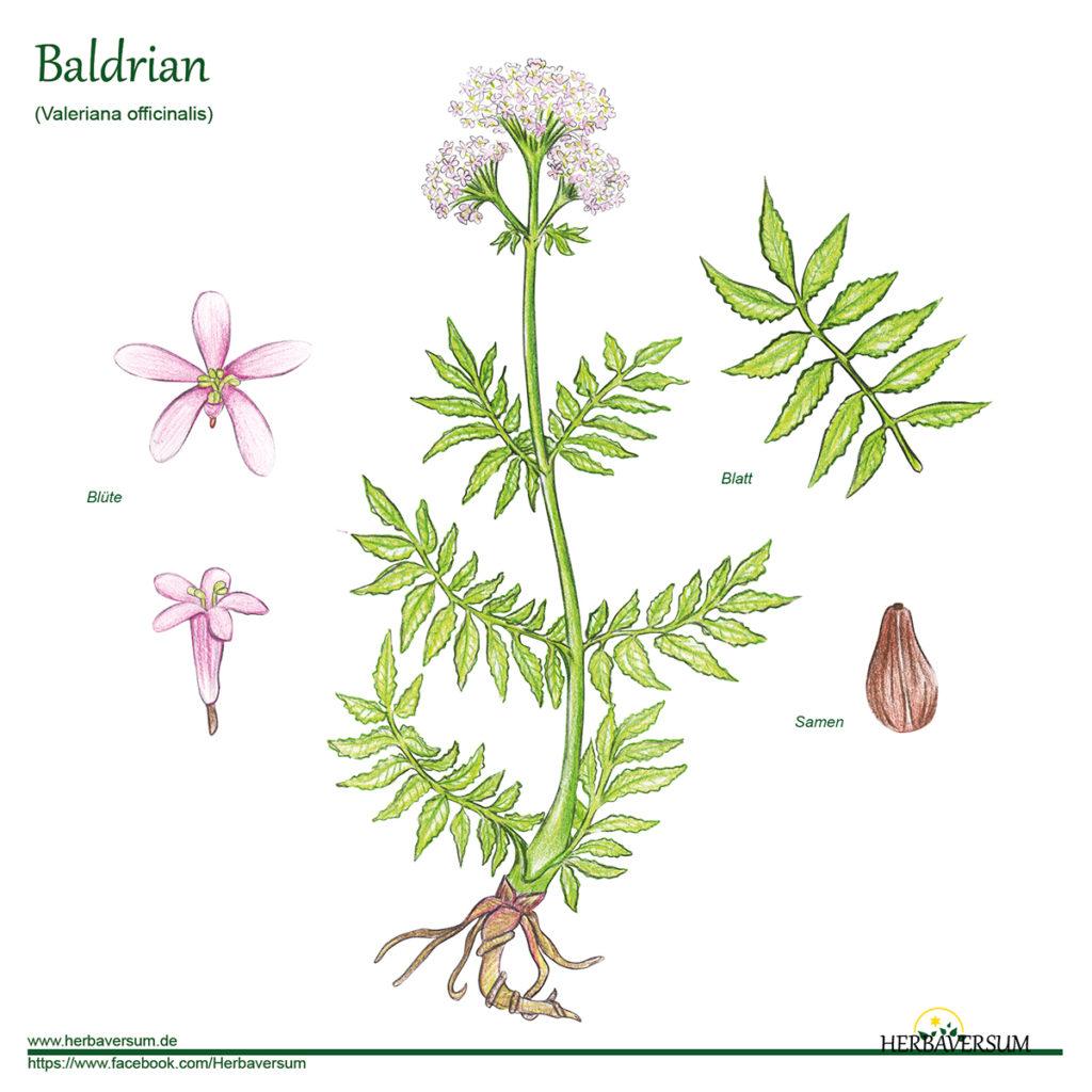 Baldrian - Grafik Detailzeichnung