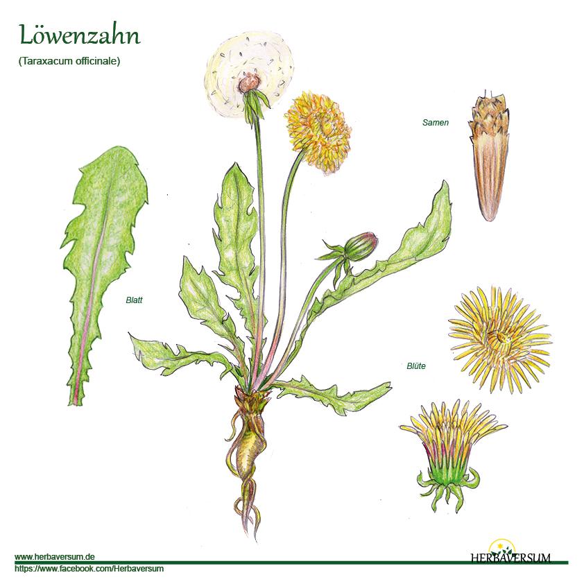 Löwenzahn Detail-Zeichnung Habitus Taraxacum officinale