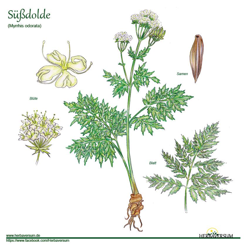 Süßdolde Pflanze Detailzeichnung Grafik